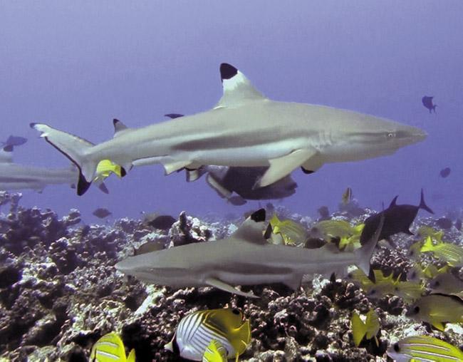 Photographer Terry Lilley describes this as a shark feeding frenzy off Moorea recently