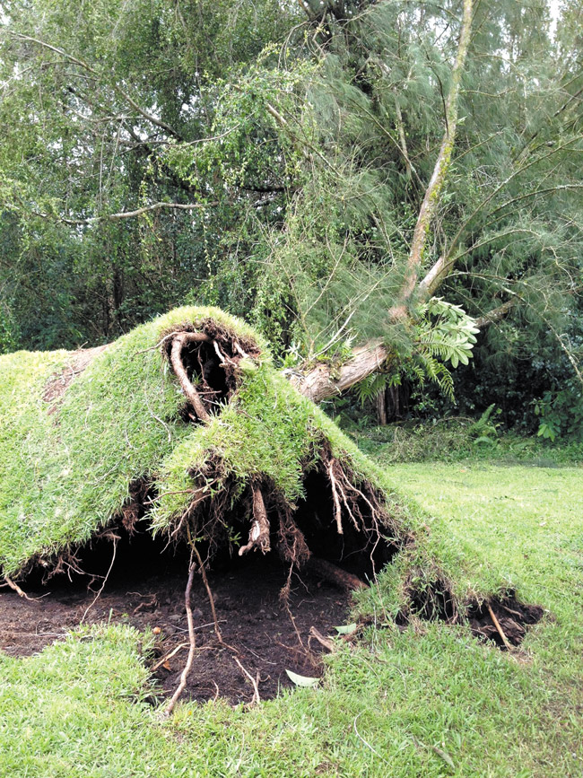 An uprooted tree at a home in Hilo. PHOTO COURTESY SANDY KOJIMA